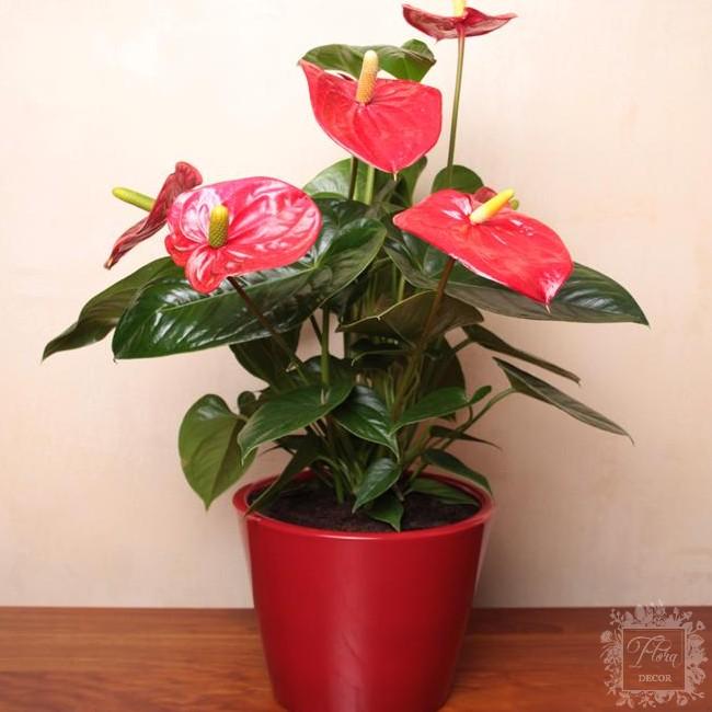 Anthurium turenza rosso anthurium floradecor for Anthurium rosso